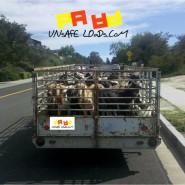 Live Goats? Unsafe Sir!