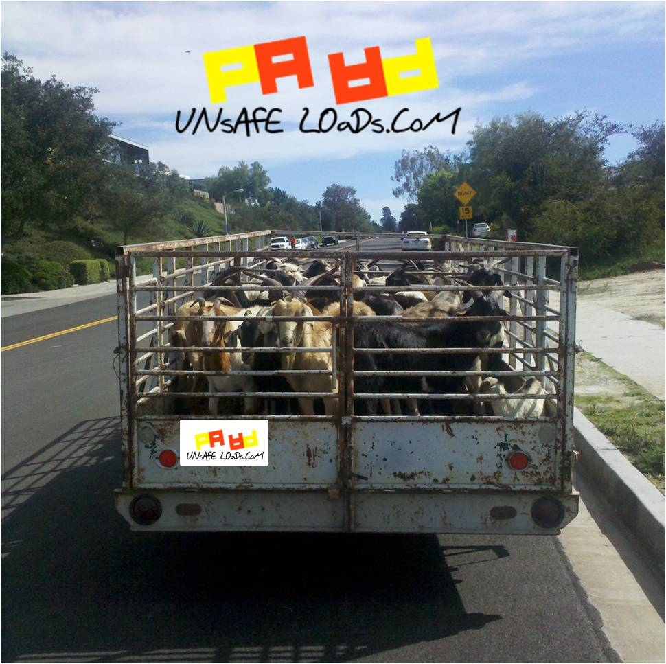 Seriously? Goats in truck?